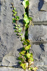 Ivy on stone wall at Balla railway station