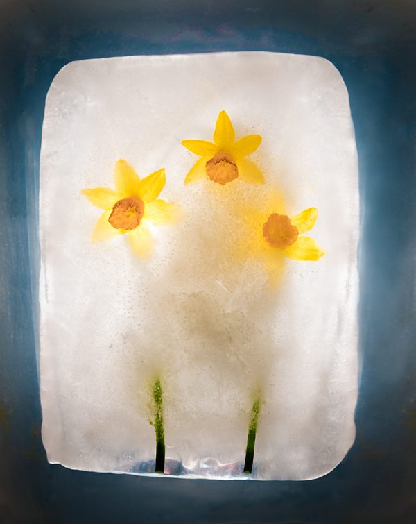 Daffodils in ice