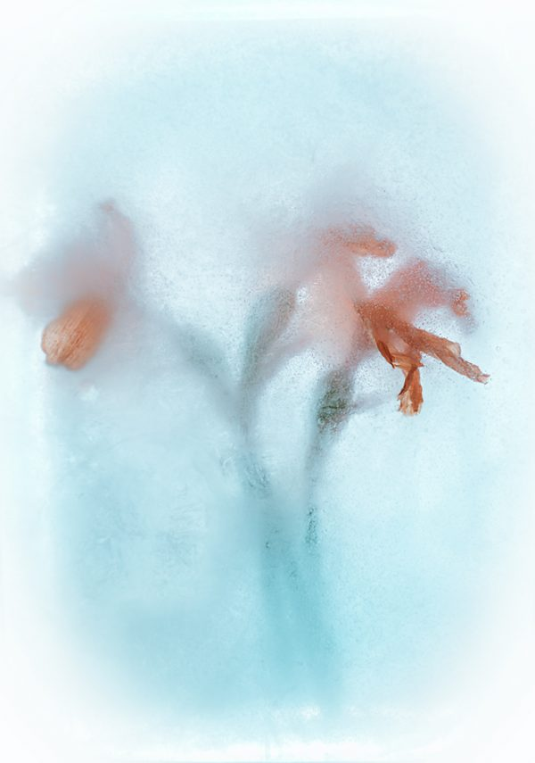 Daffodils in ice